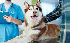 Husky at vet with owner